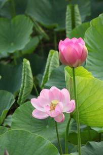 ハスの花の写真素材 [FYI00254426]