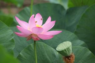 ハスの花の写真素材 [FYI00254440]