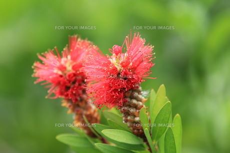 ブラシの花の写真素材 [FYI00254478]