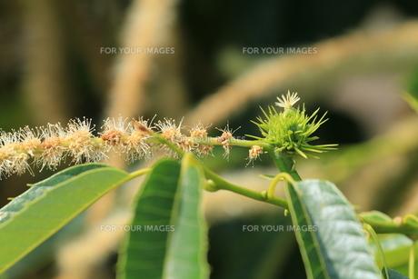 クリの花と若い実の素材 [FYI00254497]