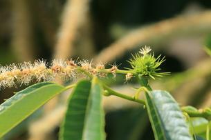 クリの花と若い実の写真素材 [FYI00254497]