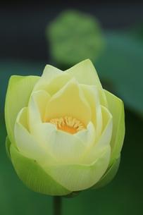 ハスの花の写真素材 [FYI00254500]