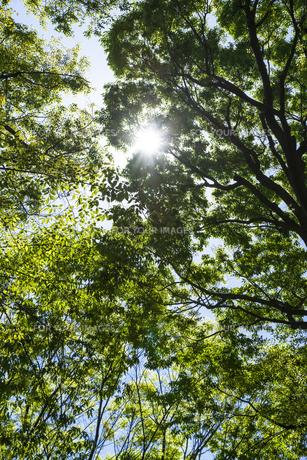 中野平和の森公園に生い茂る新緑の樹木から降り注ぐ木洩れ日の素材 [FYI00255136]