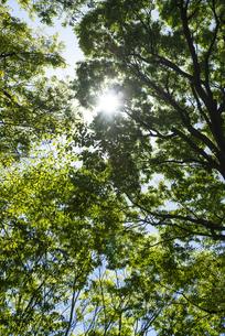 中野平和の森公園に生い茂る新緑の樹木から降り注ぐ木洩れ日の写真素材 [FYI00255136]