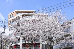 中野通りの桜並木とマンションの写真素材 [FYI00255142]
