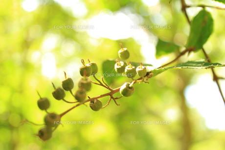 木の実の写真素材 [FYI00255210]