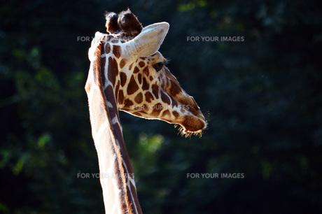 キリンの写真素材 [FYI00255376]