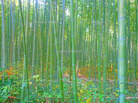 竹藪の写真素材 [FYI00255428]