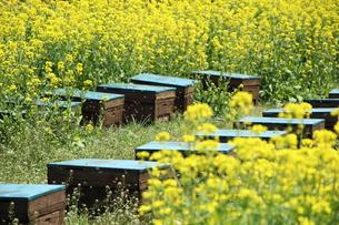 養蜂の写真素材 [FYI00255614]