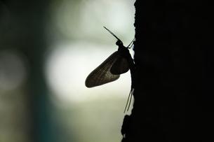 カゲロウのシルエットの写真素材 [FYI00255622]