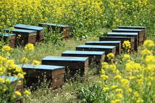 養蜂の写真素材 [FYI00255635]