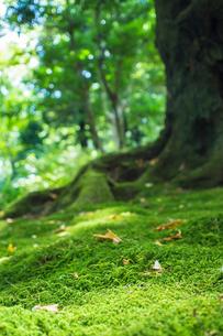 敷き詰められた苔の写真素材 [FYI00255719]