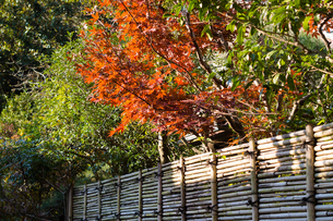 Bamboo fence and mapleの写真素材 [FYI00255736]