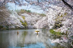 春の井の頭恩賜公園の写真素材 [FYI00255793]