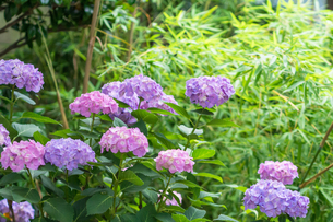 紫陽花の花の写真素材 [FYI00255851]