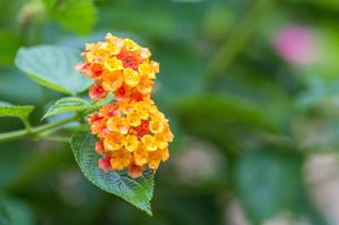 ランタナの花の写真素材 [FYI00255867]