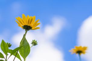 空に向かって花を咲かせるミニヒマワリの写真素材 [FYI00255873]