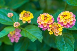 ランタナの花の写真素材 [FYI00255874]