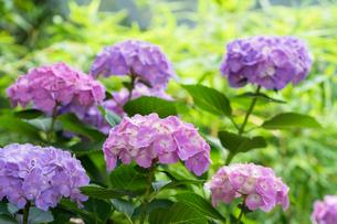 紫陽花の花の写真素材 [FYI00255875]