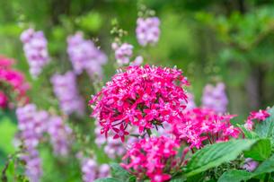 ペンタスの花の写真素材 [FYI00255876]