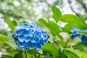 紫陽花の花の写真素材 [FYI00255883]
