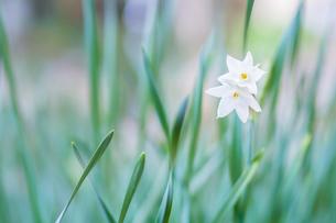 ニホンズイセンの花の写真素材 [FYI00256001]