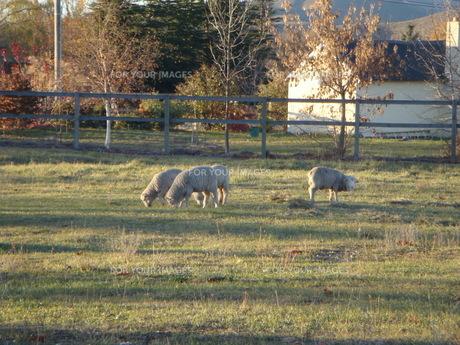 羊たちの夕食の写真素材 [FYI00256315]