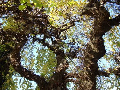 うねる木の写真素材 [FYI00256321]