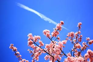 河津桜と青空と飛行機雲の写真素材 [FYI00256325]