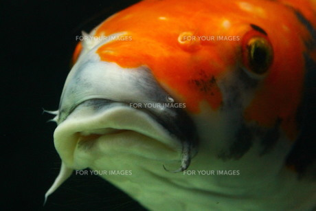 鯉の写真素材 [FYI00256744]