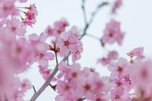 桜の写真素材 [FYI00256757]