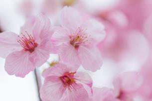 桜の写真素材 [FYI00256760]