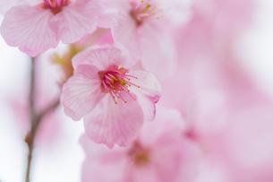 桜の写真素材 [FYI00256763]