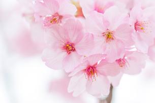 桜の写真素材 [FYI00256768]