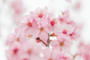 桜の写真素材 [FYI00256769]
