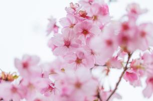 桜の写真素材 [FYI00256770]