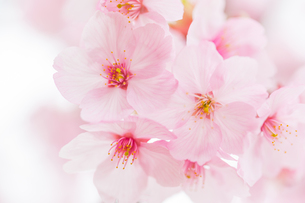 桜の写真素材 [FYI00256773]