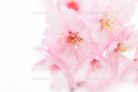 桜の写真素材 [FYI00256775]