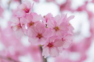 桜の写真素材 [FYI00256779]