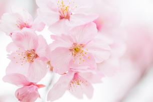 桜の写真素材 [FYI00256782]