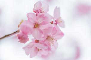 桜の写真素材 [FYI00256786]