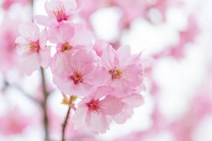 桜の写真素材 [FYI00256789]