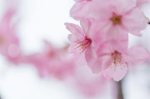 桜の写真素材 [FYI00256790]