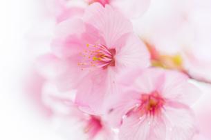 桜の写真素材 [FYI00256791]