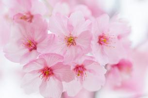 桜の写真素材 [FYI00256792]