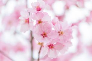 桜の写真素材 [FYI00256793]