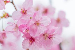 桜の写真素材 [FYI00256801]