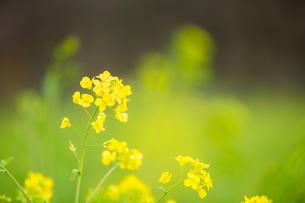 菜の花の写真素材 [FYI00256805]