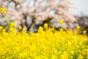 菜の花の写真素材 [FYI00256814]