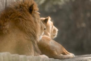 ライオンの写真素材 [FYI00256826]